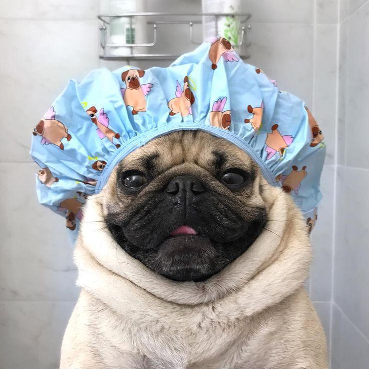 "Doug The Pug no Instagram: """"Save water, shower with a pug"" -Doug"""