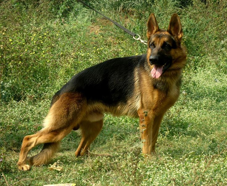 german shepherd | German Shepherd Price in India,German Shepherd puppy for sale in Bhillai, INDIA Abhinav nandi ...