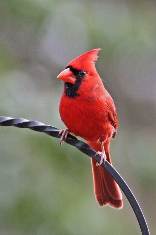 Boost Near Me >> Northern Cardinal (Cardinalis cardinalis) | Animals- Birds Page 32 | Pinterest | Discover more ...