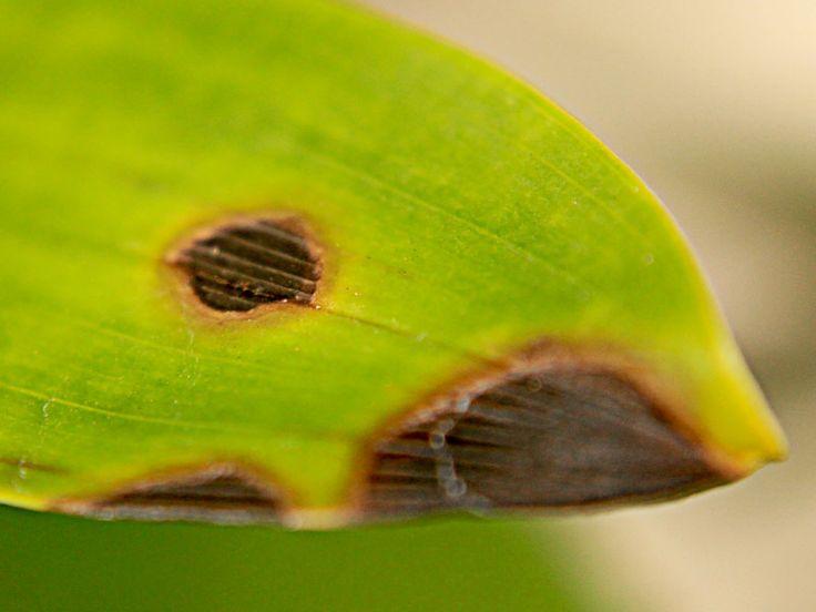 Manchas circulares em tons de castanhos ou marrom (inclusive com bordas amareladas) ou anéis avermelhados nas folhas de orquídeas, podem indicar doença causada por fungos.