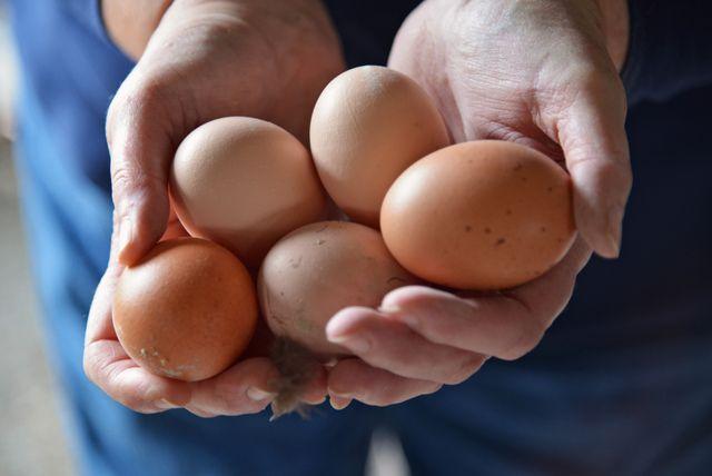 Pour ramasser de beaux oeufs, il convient de bien nourrir vos poules, de veiller au manque de calcium et de respecter leur cycle de ponte. Nos conseils.