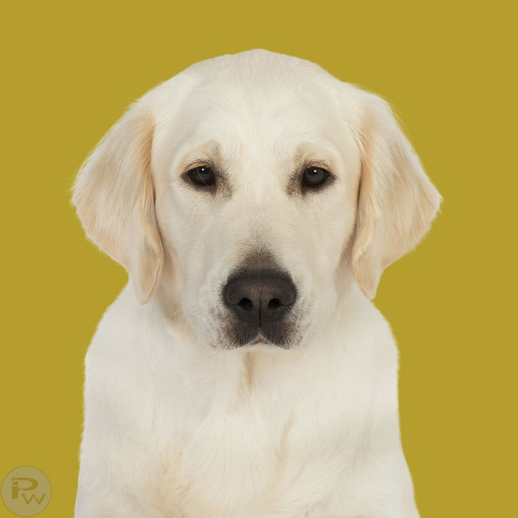 Projekt 100 Hunde Golden Retriever by Pernille Westh on 500px