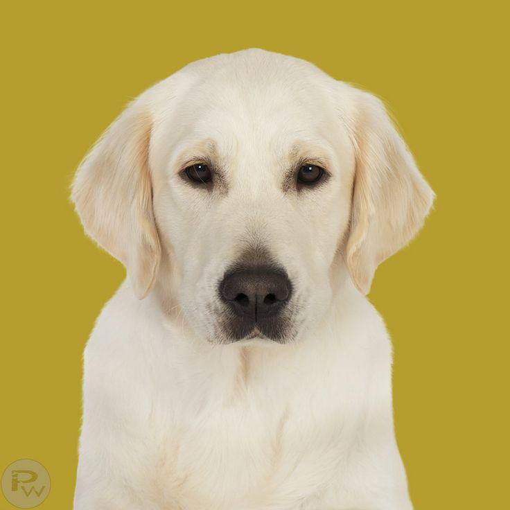 Projekt 100 Hunde Golden Retriever by Pernille Westh on 500px