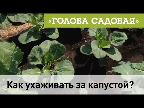 Голова садовая - Как ухаживать за капустой? - YouTube