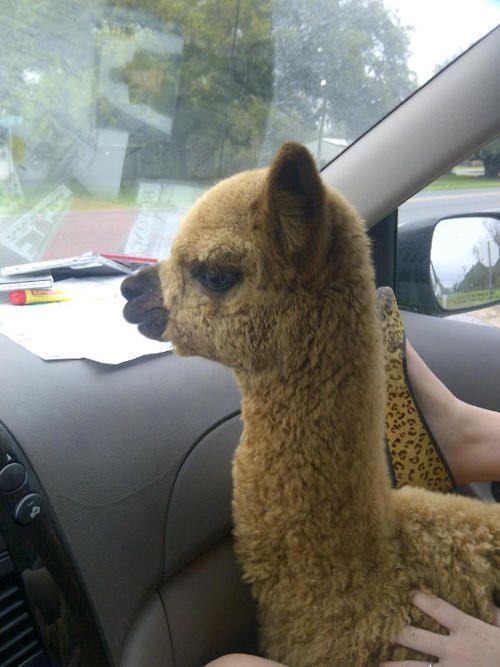 Alpacas ride in cars