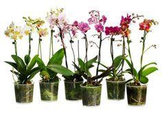 Хотите, чтобы на вашем подоконнике красовалась целая оранжерея из орхидей? Для этого вам не нужно тратить безумные деньги на покупку десятков цветов! Наш цветовод Нелли […]
