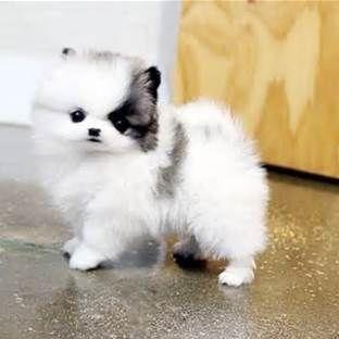 Chocolate Micro Mini Pomeranian Cute baby animals, Cute