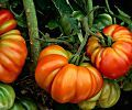 7 Rules Every Tomato Grower Should Follow