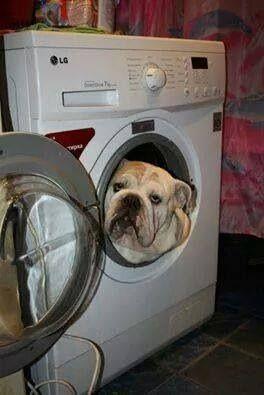 I need a wash momma! #Bulldog