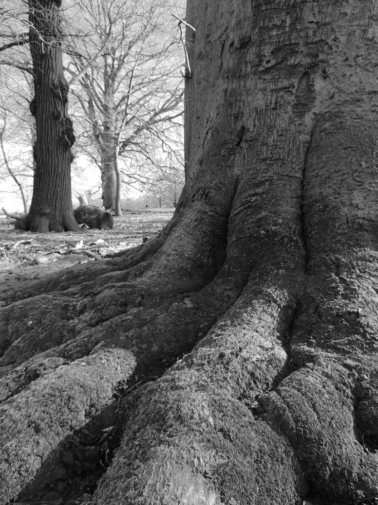 Strong roots - Tree in Richmond Park