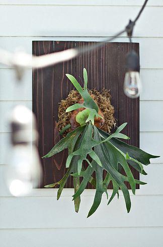 Helecho cuerno de venado   17 Plantas de interior que necesitas ya