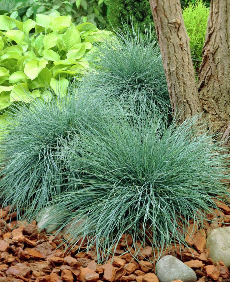 770 best images about ornamental grasses hostas on for Ornamental grass with blue flowers