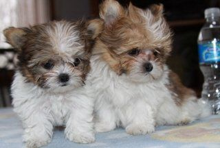 Pictures of mi-ki puppies and their parents