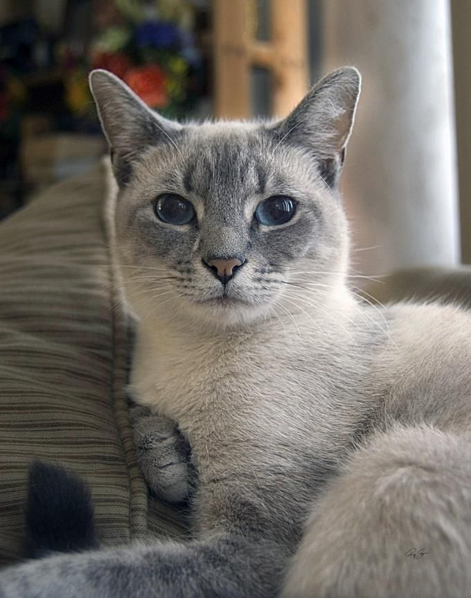 Ahhh...I had this beautiful Blue Point Siamese name Kiddo in my younger days. This guys so looks like him.