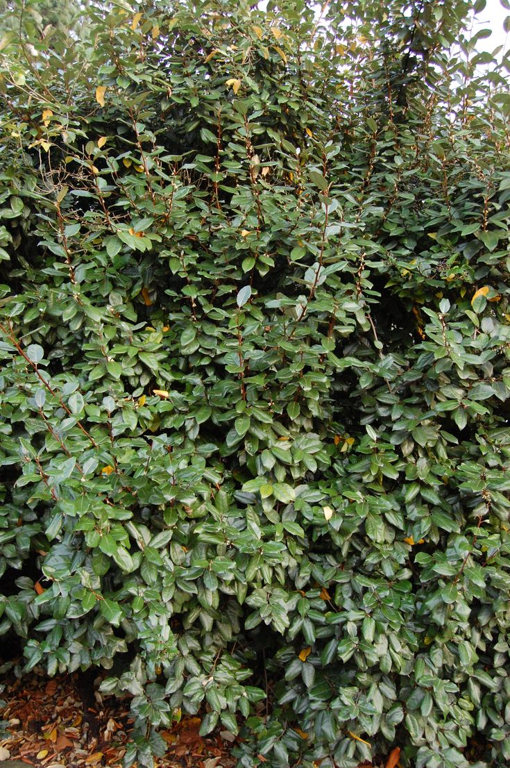 Best shrubs for full sun and privacy - Elaeagnus X Ebbingei Is An Evergreen Bushy And Dense Shrub Which Is Fully Hardy