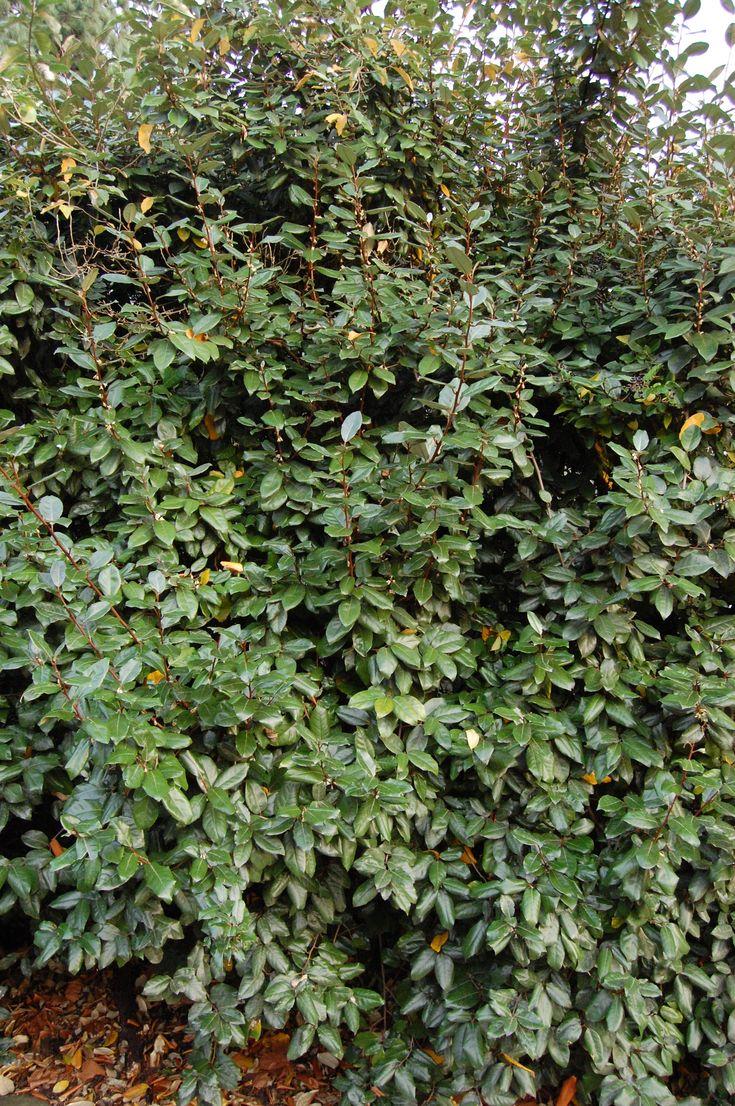 elaeagnus x ebbingei is an evergreen bushy and dense shrub which is fully hardy it has dark. Black Bedroom Furniture Sets. Home Design Ideas