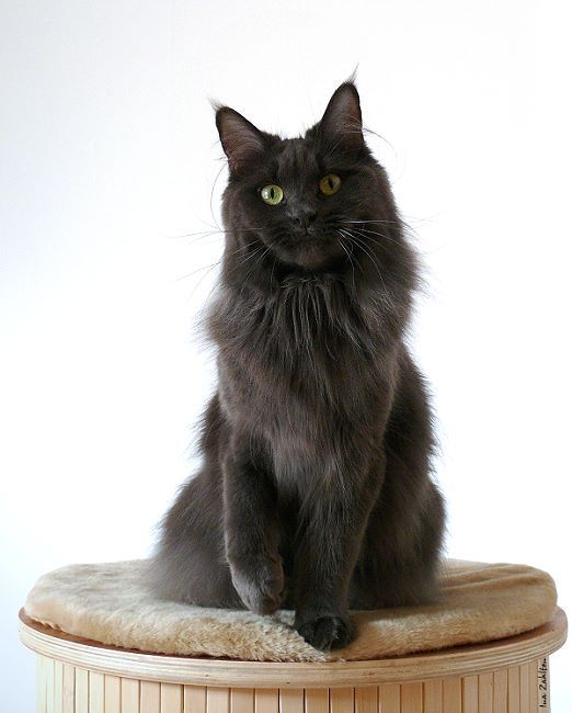 #MaineCoon #Blue #Solid #Cats UK* Brilthor Cascaya