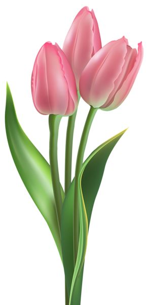 Soft Pink Tulips PNG Clipart Image