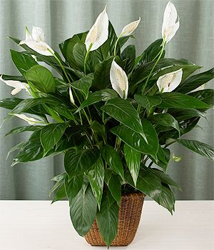 air purifying: peace lily (spathiphyllum) excellent plant for removing harmful toxins from indoor air
