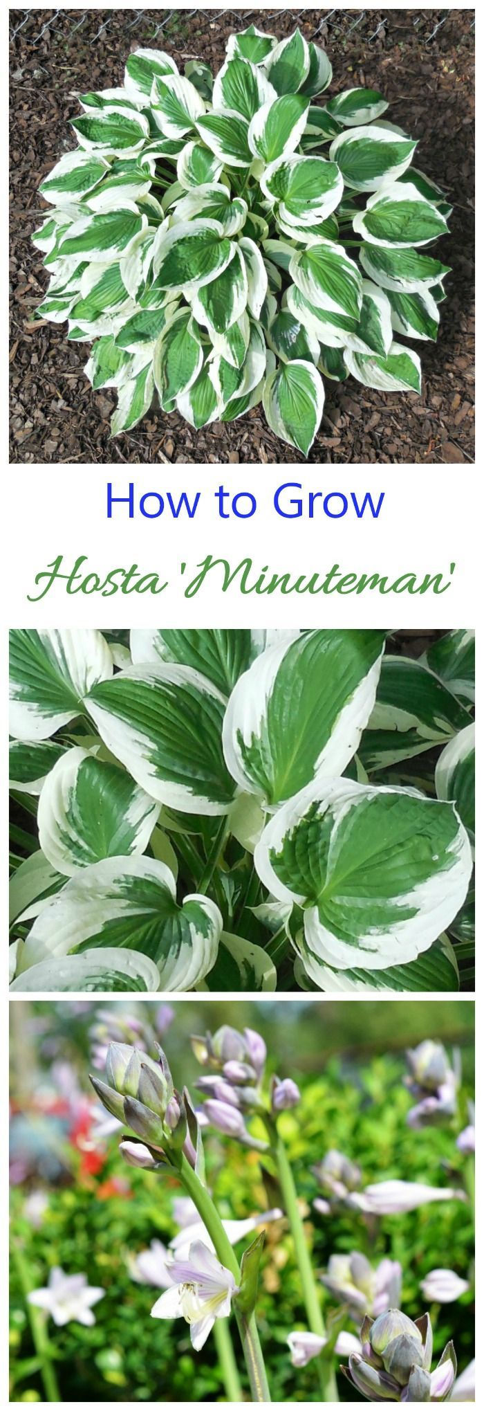 Hosta Minuteman has wide white margins and deep green centers. It is a standout in any shade garden..