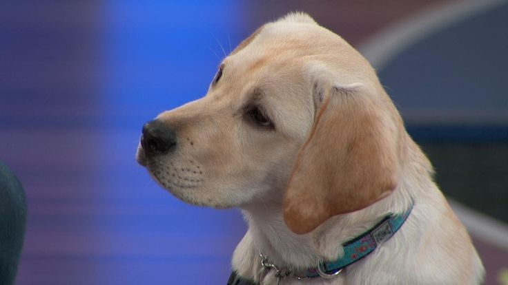 The Dog That Helps Little Girl with Diabetes - The Doctors are joined by Sophia, who has Type 1 diabetes, and her mother, Stephanie, along with Carleigh, who is training the adorable dog Honey to be a diabetic alert dog.