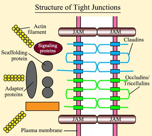 Structure of tight junctions