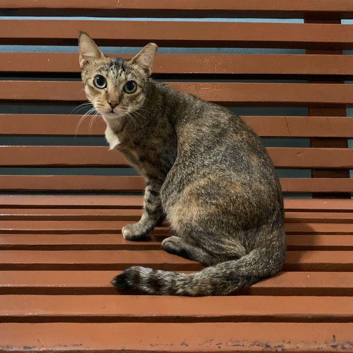 Name Of Pet Koci Breed Tabby Color Brown Black Gender Female