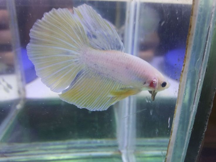 #0171 Halfmoon Yellow Betta Live Fish (Please Read the Shipping Terms!)