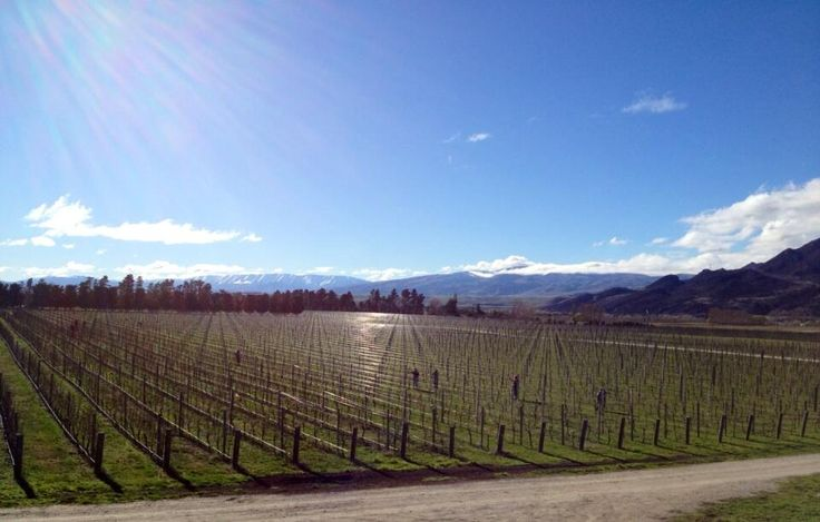 Pruning our organic Pinot Noir bock in the stunning Central Otago sunshine, Amisfield, NZ