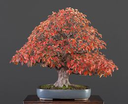 Pseudocydonia sinensis (Thouin), Masahiko Kimura Nursery, Japan, in the Luis Vallejo bonsai collection since 2009