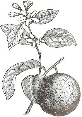 Antique Graphics Wednesday - 12 Fruits and Vegetables
