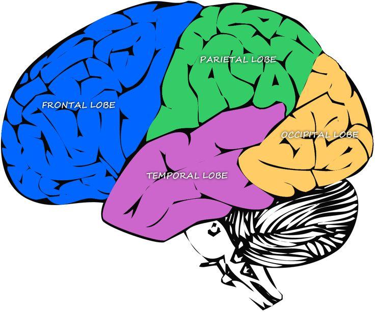 Diagram of the major lobes of the brain   Brain diagram ...