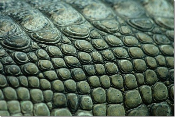 Crocodile texture image from Bigstock