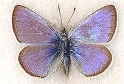 Xerces Blue is an extinct butterflyBlue Butterflies, Extinct Animal, Blue Glaucopsych, Butterflies Families, Xerces Blue, Sands Dunes, Butterflies Species, Glaucopsych Xerces, Extinct Species