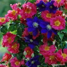 Znalezione obrazy dla zapytania róże pnące odmiany