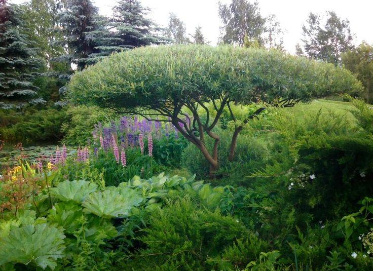 ива пурпурная 'Нана' в саду Александра Марченко.