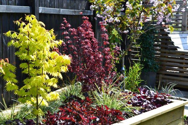 Acer Palmatum in raised beds. Carex Everest and Heuchera. Black fence.