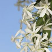 Can a Clematis Be Moved Safely in the Fall? | eHow
