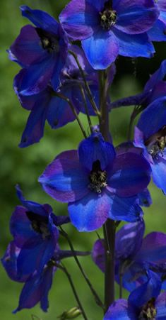 Delphinium...  Delphinium flowers are easy to grow from seed. Just sprinkle seed on the ground. Cover lightly. Water and wait. ;-)