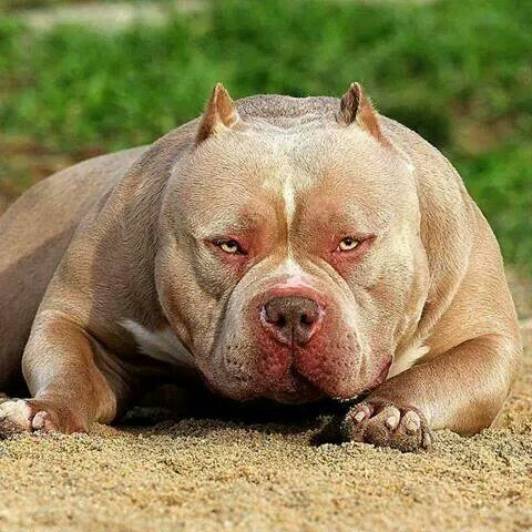 Pitbulls animals dogs