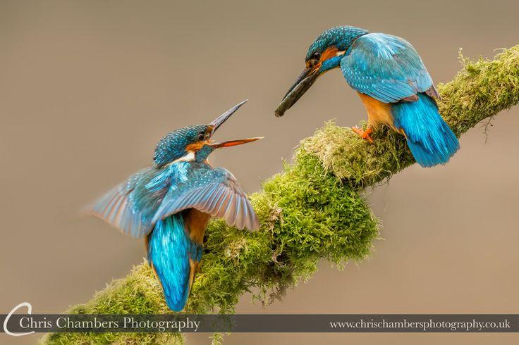 Adult Male Kingfisher (Alcedo Atthis) feeding juvenile