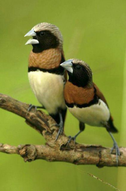 The Chestnut-breasted Mannikin (Lonchura castaneothorax) also known as the Chestnut-breasted Munia or Bully Bird. The species is found in Australia, New Caledonia, Indonesia, and Papua New Guinea.
