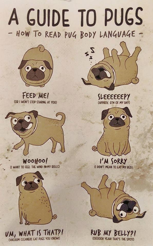How To Read Pug Body Language