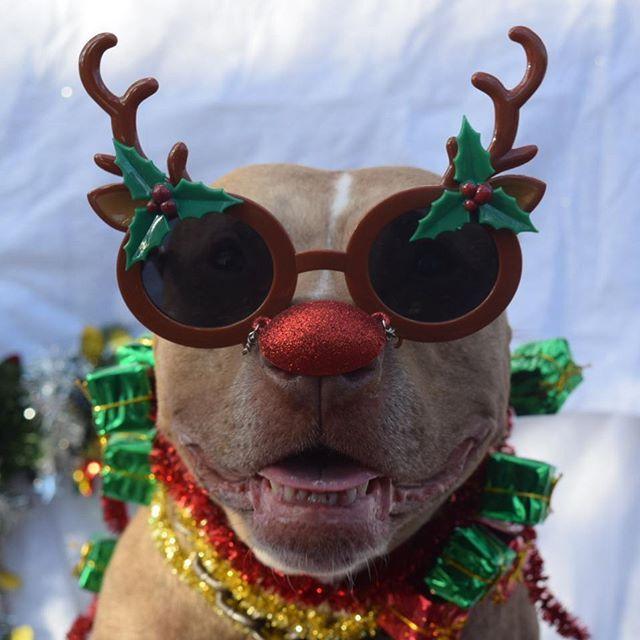 "tangomunch_pitbull ""...Tango da rednose pitbull, had da very shinys nose!"""