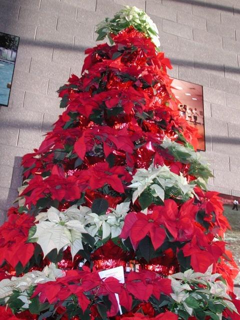 634 Best Flowers Poinsettia Images On Pinterest