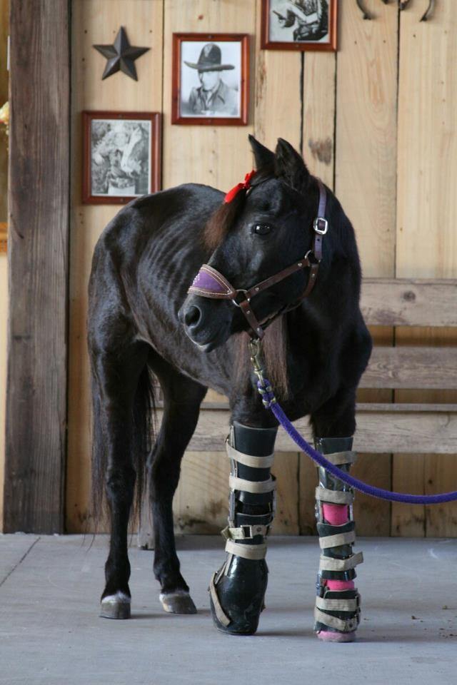 Star - She was rescued with extreme damage to her feet and legs due to neglect and lack of proper hoof care for years.  She was very emaciated and had lice.  She didn't lose her limbs but is supported with braces.  She's doing fabulously, even trotting and wearing braces 14 hours a day now.  Amazing little girl. The true spirit of the horse!