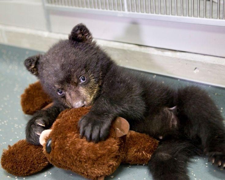 Bir ayı ile bu siyah ayı yavrusu hayvan dolması.