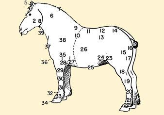 horse anatomy coloring pages - photo#17
