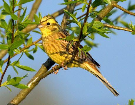 Trend H ren Sie die Goldammer auf deutsche vogelstimmen de welches eine umfassende Sammlung an deutschen Vogelstimmen ist Funktioniert auch auf Ihrem Handy