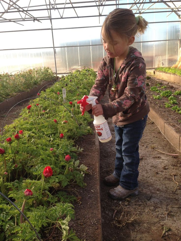 our pest control expert, spraying the aphids with  peppermint soap